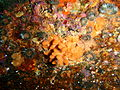 Cylindrical false corals at the wreck of the Pietermaritzburg P7260739.JPG