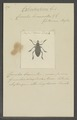 Cylindrorrhinus - Print - Iconographia Zoologica - Special Collections University of Amsterdam - UBAINV0274 029 03 0015.tif