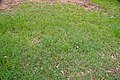 Cynodon dactylon in open forest near Larissa St 7th Brigade Park Chermside IMGP3068.jpg