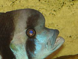 Cyphotilapia frontosa (head) by Ark.JPG