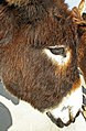 Cypriot Donkeys (32480400815).jpg