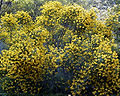 Cytisophyllum sessilifolium 1.jpg