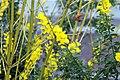 Cytisus x spachianus 8zz.jpg