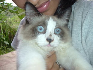 Gato de raza persa.