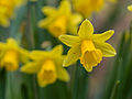 Daffodils on St. David's day (12877054055).jpg