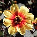 Dahlia sp.-IMG 5599.jpg