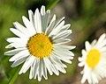 Daisy (2649404904).jpg