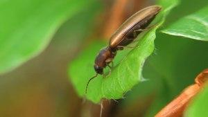 File:Dalopius marginatus - 2012-05-19.webm