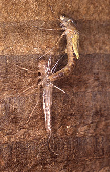 Damselfly emerging from exuvia.jpg