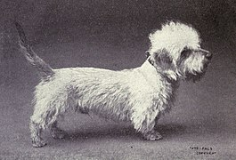Dandie Dinmont Terrier from 1915.JPG