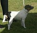 Danish-Swedish Farmdog black tricolor 1.jpg