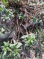 Daphne laureola (2) (Thymelaeaceae).jpg