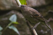 Dark-breasted Rosefinch Khangchendzonga National park West Sikkim India 30.03.2016.jpg
