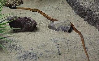 <i>Pseudonaja mengdeni</i> Highly venomous snake native to Western Australia