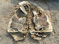 Decomposed Lepidochelys olivacea at Rushikonda Beach.JPG