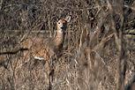 Deer 3374.jpg