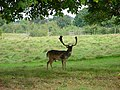 Deer in the Park - geograph.org.uk - 564464.jpg