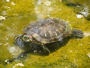 A Red-Eared Slider turtle, keeping defensive w...
