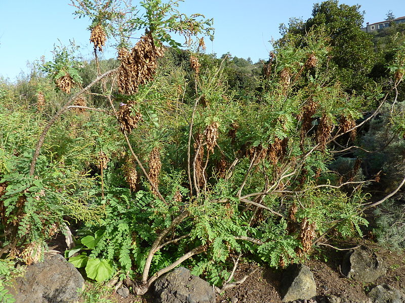 File dendriopoterium pulidoi jard n bot nico canario viera y clavijo jpg wikimedia commons - Jardin botanico canario ...