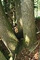 Dendrotelm in Fraxinus excelsior.JPG
