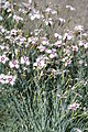 Dianthus bisignanii 07.JPG