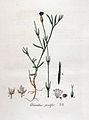 Dianthus prolifer — Flora Batava — Volume v4.jpg