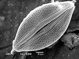 Diatom algae Amphora sp