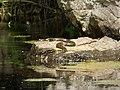 Dice Snake . Natrix tessellate (44931000681).jpg