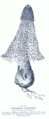 Dictyophora sp GS183.png