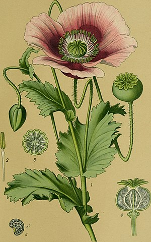 Flying ointment - Opium Poppy : Papaver somniferum