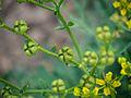 Die Weinraute lat. Ruta graveolens, Blüten mit Samen.jpg