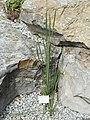 Dierama igneum - Palmengarten Frankfurt - DSC01980.JPG