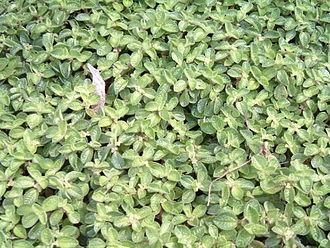 Pilea nummulariifolia - Image: Dinheirinho