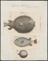 Diodon hystrix - 1700-1880 - Print - Iconographia Zoologica - Special Collections University of Amsterdam - UBA01 IZ15400201.tif