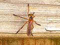 Diogmites neoternatus top.jpg