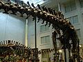 Diplodocus and Apatosaurus st the CMNH 02.jpg