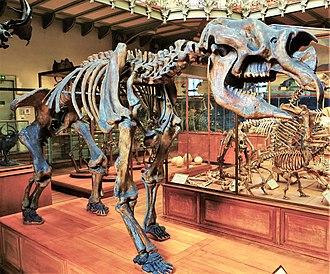 Diprotodon - Cast of a Diprotodon skeleton, MNHN, Paris
