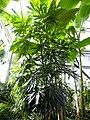 Dizygotheca elegantissima (1).jpg