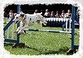 Dogdalmatian jumping.jpg
