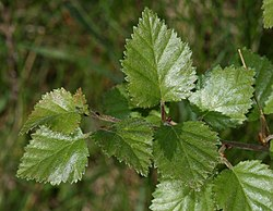 Downy Birch (Betula pubescens) - Flickr - S. Rae.jpg