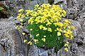 Draba bruniifolia Yellow Whitlow Grass ქუდუნა.JPG