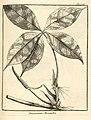 Dracontium pentaphyllum Aublet 1775 pl 326.jpg