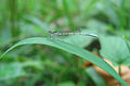 Dragonfly on a leaf (1).jpg