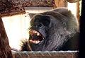 Drama in Bristol Zoo Gorilla House pt 1 (14275191650).jpg