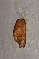Drepanepteryx phalaenoides (36008005320).jpg