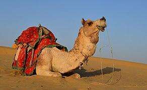 Dromedary in Thar desert.jpg