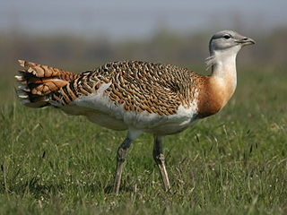 Great bustard Species of bird