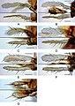 Drosophila (Dudaica) (10.3897-zookeys.781.27354) Figure 9.jpg
