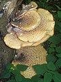 Dryad's Saddle (Polyporus squamosus) (3636327472).jpg