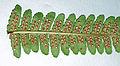 Dryopteris affinis H-3.jpg